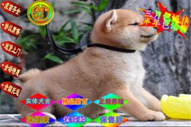 CKU犬舍出售纯种日系柴犬,日本柴犬幼犬保健康