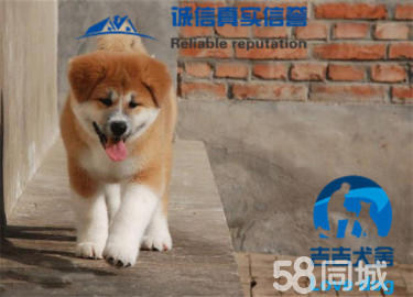 純種日系秋田犬,專業犬舍基地繁殖,包健康純種