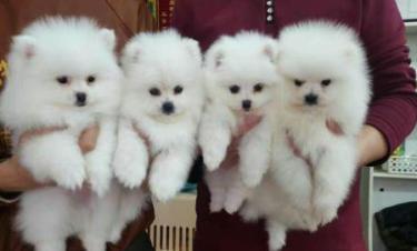 博美幼犬寻好心人 高品质包纯包健康