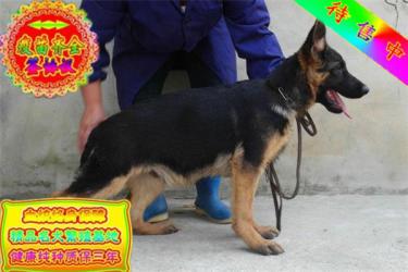 出售高品质德国牧羊犬宝宝