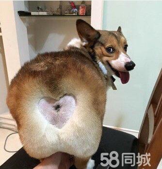 3个月的柯基犬2000元(公母均有)