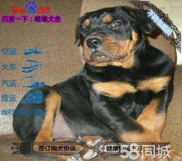 可以開視頻看犬舍羅威納種犬 幼犬雙血統包健康