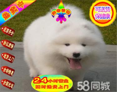 白天使薩摩耶骨量大 毛量佳正規犬舍繁殖澳版薩摩耶