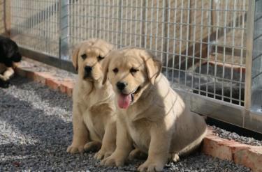出售家�B��N的拉布拉多幼犬,�^���物,可上�T挑�x