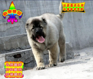 超级巨大猛犬高加索幼犬骨架大健康签协议质保