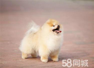 爱乖巧活泼美丽毛线球般的小精灵黄白博美犬可送货