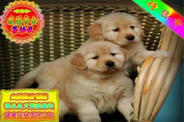 包纯种包健康品质包终身大头金毛犬宠物狗