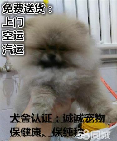 出售純種健康活潑博美犬多種顏色簽訂終身質保協議