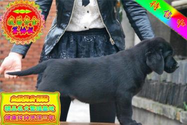 金沙官方平台纯种的聪明的拉布拉多幼犬品相好 包纯种健康