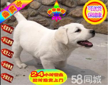 纯种拉布拉多犬 奶白色咖啡色黑色都有 本地繁殖