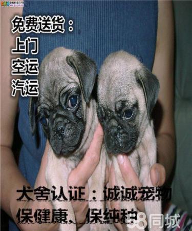 出售纯?#32844;?#21733;幼犬品相好 健康保证质量保证纯正