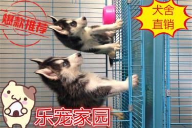 哈士奇雪橇犬/带血统证书/签协议