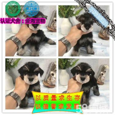 出售雪納瑞犬、疫苗做齊【質保簽協議】可看狗父母