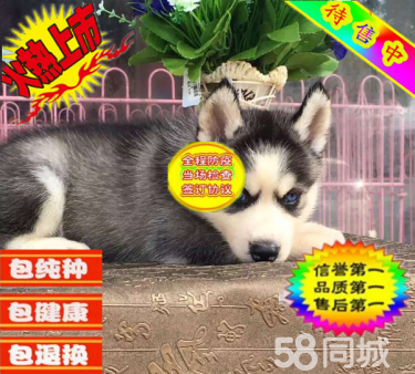 繁殖基地出售纯种哈士幼犬 蓝眼三火哈士奇