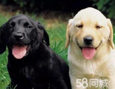 拉布拉多导盲犬幼犬 忠厚老实 包纯种健康