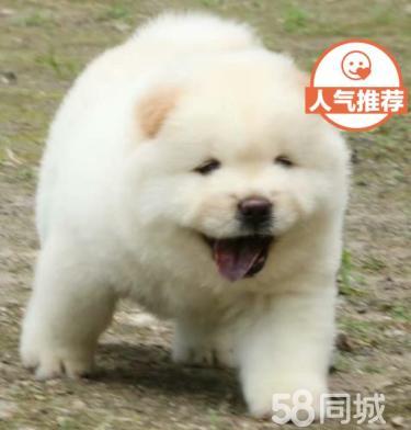 聪明可爱的松狮幼犬出售啦 欢迎上门看狗