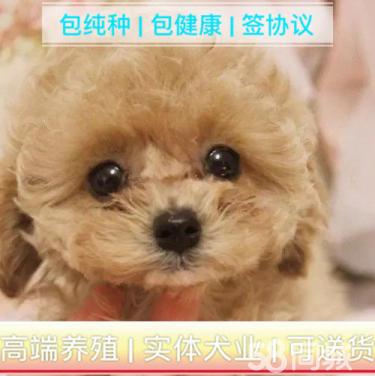 【泰迪幼犬】�r格合理、疫苗做好、常年�I�I、�F�隹蛇x