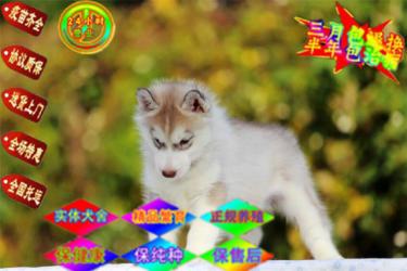 顶级繁殖基地出售纯种哈士幼犬 蓝颜三火哈士奇