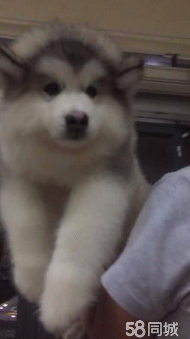 纯种阿拉斯加幼犬出售 巨型熊版大骨架狗狗