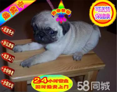 CKU犬舍:极品八哥幼犬,鹰犬,冠军后代,多窝
