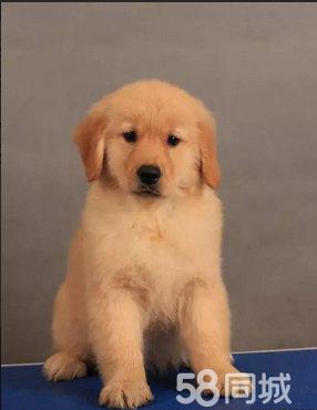 纯种3个月的金毛公母均有寻回猎犬保证健康