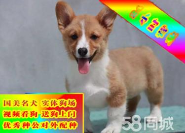 柯基犬纯种幼犬纯种柯基犬威尔士柯基幼犬双色柯基犬