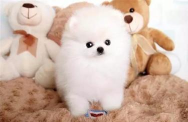 3個月的博美犬1000元(公母均有)純種保健康