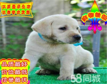��N拉布拉多幼犬 ��品�| 健康保障 疫苗�R全
