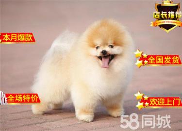 德系狐狸犬 ?#31354;?#21704;多利球型博美犬 纯色爆毛 超漂亮