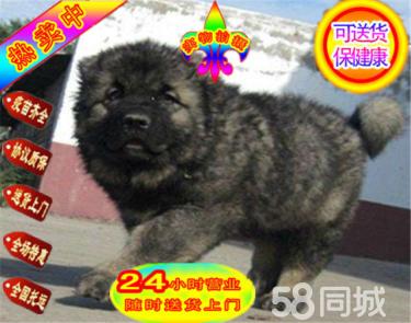 專業高加索繁殖基地出售賽級高加索幼犬!血統純正