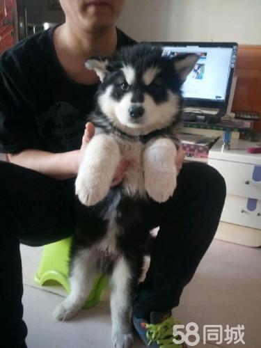出售純家養阿拉斯加幼犬