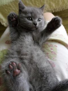 超级活泼的小蓝猫
