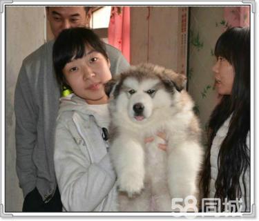 超大骨架巨型阿拉斯加雪橇犬出售,健康血�y��f�h