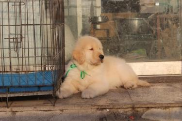 纯种黄金猎犬 金毛寻回犬 幼犬宝宝 低价热销
