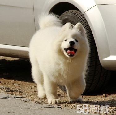 《萨摩专售区》微笑天使可爱萨摩耶幼犬出售萨摩耶价格