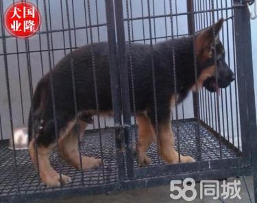 3个月的德国牧羊犬2500元(公母均有)自己家养殖