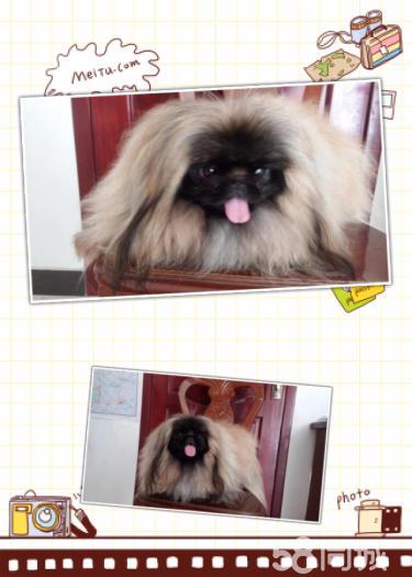低价出售双血统赛级黑色北京犬,金色北京犬