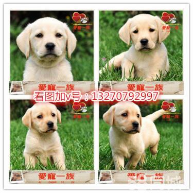 3��月(yue)的拉(la)布拉(la)多(duo)1300元(公母均(jun)有)