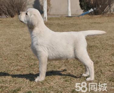 【优良品种血统纯正】签协议包退换【拉布拉多犬】