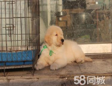 金沙官方平台纯种金毛寻回犬幼犬 包健康 签协议