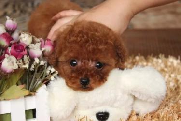 出售娃娃臉大圓眼睛紅色泰迪,送用品,保證純種健康