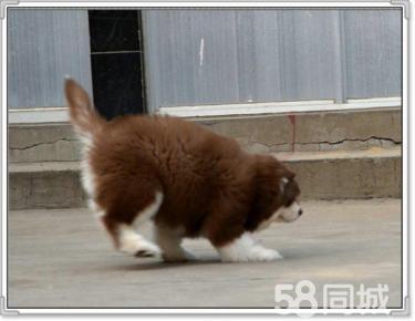 赛级品质阿拉幼犬/狗场直销/纯种健康签订协议