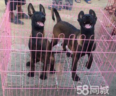 毕节低价出售血统小马犬、马犬养殖场