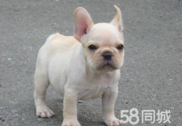 高品质英斗 法斗幼犬 签订售后协议 保证狗狗纯种