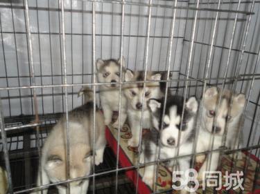 【萌萌哒哈士奇】品质第一—包健康包养活—买狗送用品