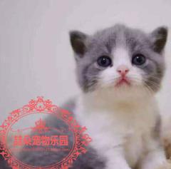 ??C F A 出售纯种英国短毛猫蓝白折耳蓝白