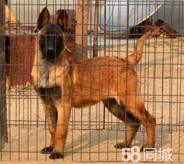 【精品馬犬繁育基地】出售精品血統馬犬幼犬,價格優惠