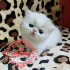 CFA出售纯种异国短毛猫加菲猫纯家养包健康