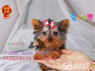 高品質純種約克夏犬,犬舍繁殖健康質量保證可送貨