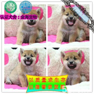 专业繁殖(柴犬幼犬)可来基地挑选。签协议保健康